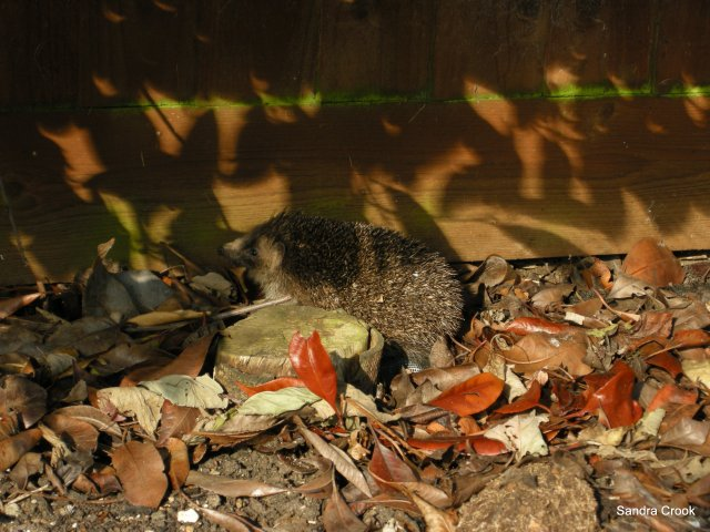 A hedgehog disturbed during the early days of his hibernation last week