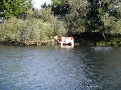 Even cows like to paddle...