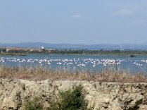 Flamingos on the salt lakes