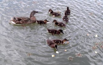 A good mother; most ducks have lost three or four ducklings by the time they're this size